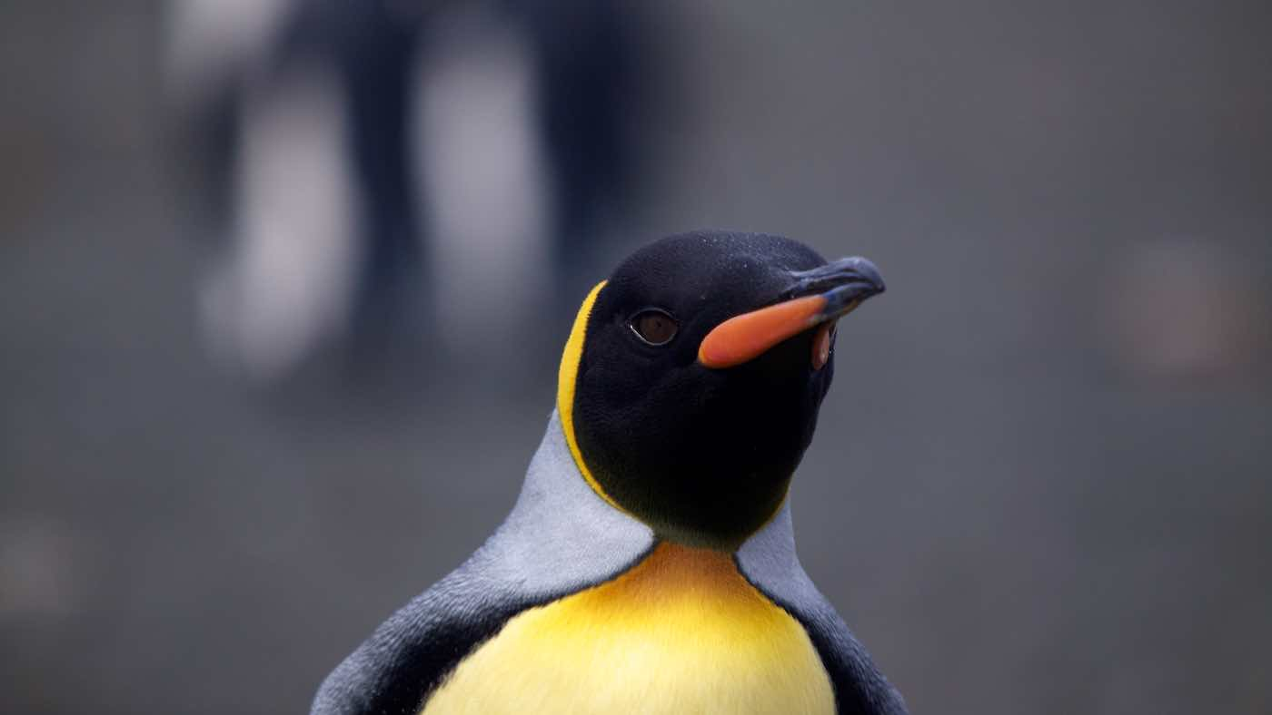 Little Yellow Bird >> King Penguin: Aptenodytes patagonica
