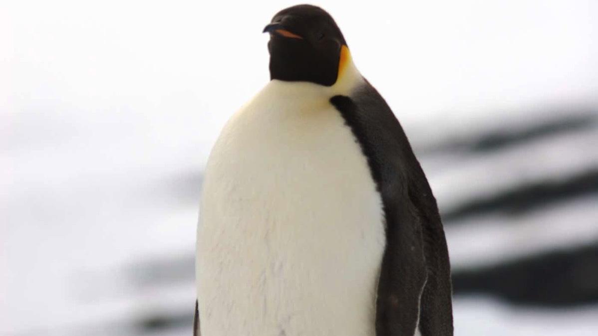 emperor penguins u003ci u003eaptenodyptes forsteri u003c i u003e