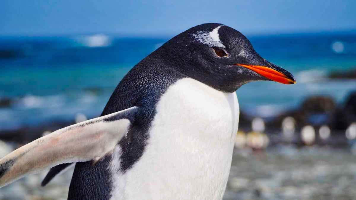 Gentoo Penguin: Pygoscelis papua